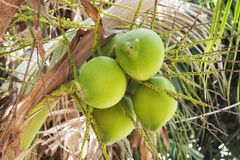 Young coconut fruit on tree Royalty Free Stock Image