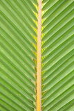 Young Coconut leaf. Royalty Free Stock Photography
