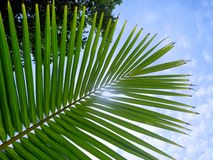 Young coconut palm leaf on a blue sky background. Stock Photos