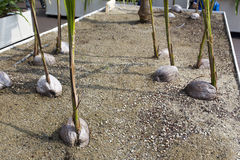 Young coconut plants Royalty Free Stock Images
