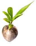 Young Coconut Sprout II Royalty Free Stock Photos