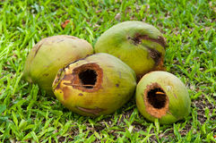 Young Coconut Royalty Free Stock Photography