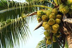 Young coconut tree Stock Images
