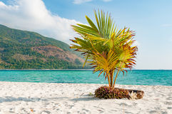 Young coconut tree planted on the sandy beach stock image