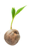 Young coconut tree seed germination green leave Royalty Free Stock Photography