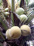 Young coconut tree. Royalty Free Stock Images
