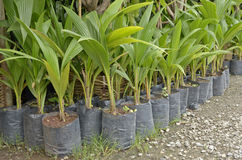 Young coconut trees. In black bag for sale Royalty Free Stock Photos