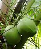 Young coconuts Stock Images