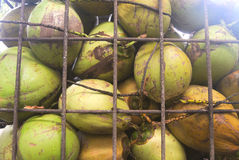 Young coconuts for sale kept in a security cage Stock Photography