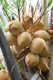 Young coconuts in a tree Royalty Free Stock Image