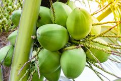 Coconuts on the tree Stock Photography