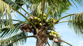 Young coconuts on tree Stock Photos