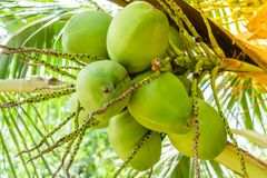 Coconuts on the tree. Young coconuts on the tree Stock Photo