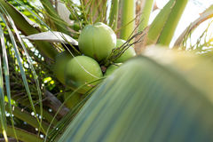Young coconuts tree fruit delicious Stock Photos