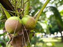 Young coconuts on tree. Young green coconuts on short tree Royalty Free Stock Image