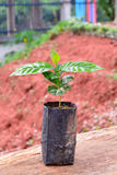 Young cofee plant in  plastic bag Royalty Free Stock Photo