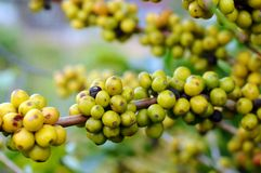 Young coffee beans on a tree Stock Photos