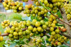 Young coffee beans on a tree Stock Photo