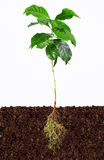 Young coffee plant with exposed roots in soil. Isolated Stock Photo