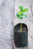 Young coffee plant Stock Photo