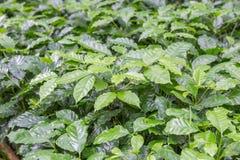Young coffee tree plantation Stock Photos