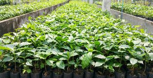 Young coffee trees in cafe nursery plantation. It Arabica coffee bean to plant in North of Thailand Stock Photography