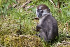 Young Collared Mangabey. In the grass stock photos