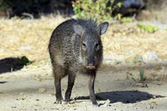 Young Collared Peccary Royalty Free Stock Image