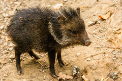 Young collared peccary Royalty Free Stock Photos