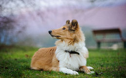 Young Collie dog lying down at grass park. With park bench and pink sky royalty free stock photos