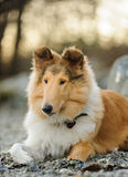 Young Collie dog. Lying on rocky beach Royalty Free Stock Photo