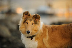 Young Collie dog. With natural stone background Royalty Free Stock Photography