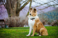 Young Collie dog sitting. At park with trees and bench royalty free stock photos
