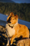 Young Collie dog. Standing on rocky beach with blue ocean water and mountains with trees stock photography