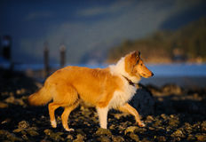 Young Collie dog walking on rocky beach Royalty Free Stock Photo