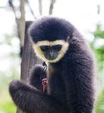 Young colobus monkey Stock Images