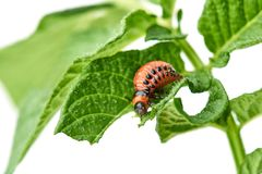 Young Colorado beetle eats potato leaves - isolated on white background. Colorado beetle eats a potato leaves young. Pests destroy a crop in the field. Parasites stock image