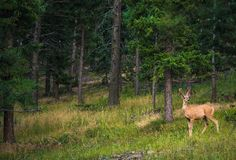 Young Colorado Elk Stock Images