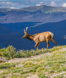 Young Colorado elk walks on ridge of Rocky Mountains in summer Stock Photo