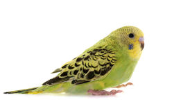 Young colorful budgerigar Royalty Free Stock Photography
