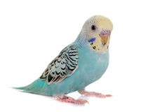 Young colorful budgerigar Royalty Free Stock Photos