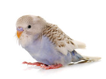 Young colorful budgerigar Stock Images