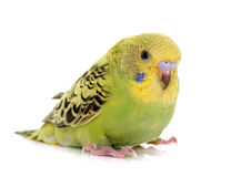 Young colorful budgerigar Stock Photography
