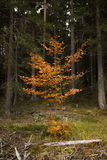 Young Colorful Deciduous Tree in Coniferous Forest. Nature Detail of Young Tree Covered in Bright Orange Colored Leaves in Evergreen Forest in Autumn - Autumn Stock Images