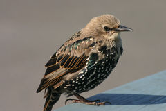 A young colorful starling. A beutiful young colorful starling Stock Images