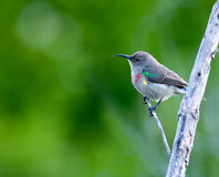 Young colorful sunbird Stock Photography