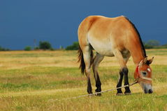 Young colt. Young beautiful colt at a ranch Royalty Free Stock Photo