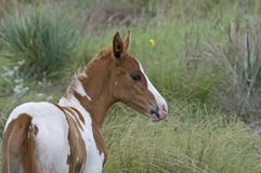 Young Colt. Young Painted Pony Colt in Oklahoma Royalty Free Stock Photo