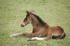 Free Young Colt Having Fun In Spring Green Field Royalty Free Stock Image - 143435996