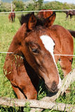 Young colt horse. Inside a fence Stock Photo